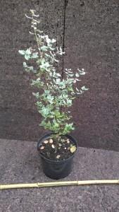 Kurkeik in 5liter pot met bamboe voor €10,-