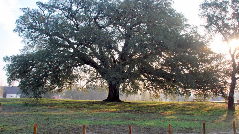 """""""En de Europese boom van het jaar is; … De fluitende kurkeik!"""""""