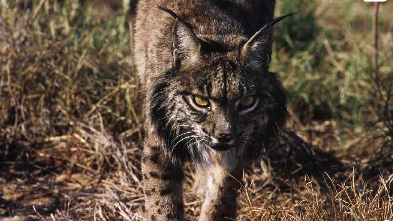 Populatie Iberische Lynx toegenomen